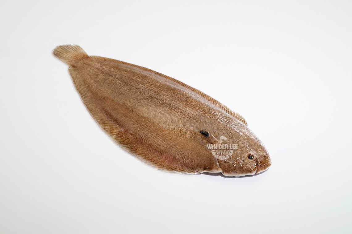 Whole dover sole for Dover sole fish
